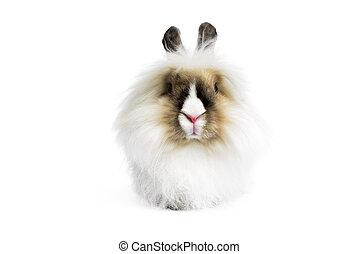 Angora lion head rabbit (Oryctologus cuniculus) isolated on...