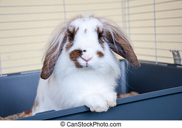 Angora lop-eared rabbit, city of Orenburg, Southern Ural, ...