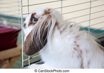 Angora lop-eared rabbit