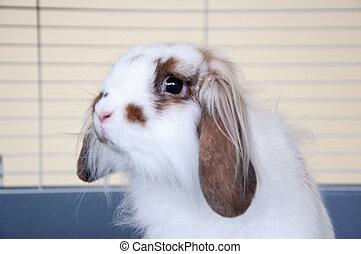 Angora lop-eared rabbit - Angora lop-eared rabbit, city of...