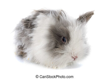 angora rabbit in front of white background