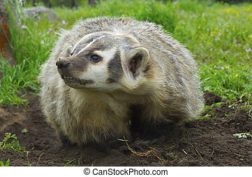 American Badger - Angry American Badger next to burrow with ...