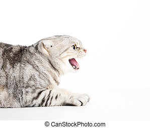 Angry cat isolated on white background
