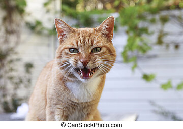 Red angry cat looking at camera