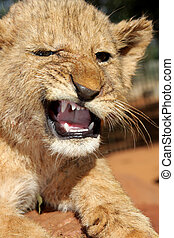 Angry cub - A little angry baby lion cub