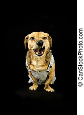 angry dachshund