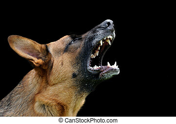 Angry dog on dark background - Close-up portrait angry dog ...
