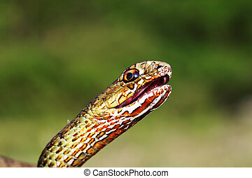 angry eastern montpellier snake