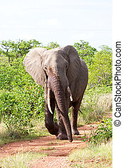 Angry elephant walking along road