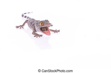 Angry gecko lizard with mouth open isolated at a white background