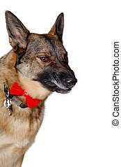 Angry german shepherd dog