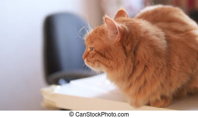 Angry ginger cat sits on white table. Fluffy pet seems to be irritated. Cute domestic animal at cozy home. Slow motion.