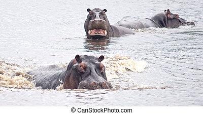 angry hippos