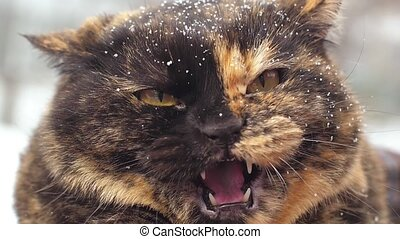 Angry hissing cat at winter - Angry hissing cat showing his...