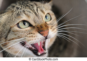 Angry hissing cat - Closeup of angry hissing cat showing his...