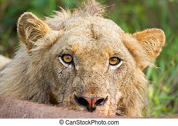 Angry lion stare portrait closeup hungry upset yellow eyes