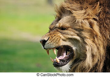 Angry lion - Close-up of a big angry African male lion
