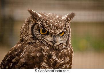 Angry long-eared owl