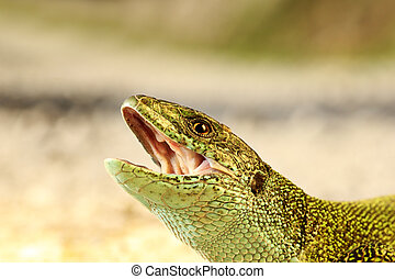 angry male green lizard portrait ( Lacerta viridis )