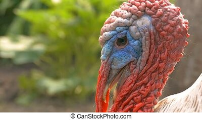 closeup of angry male turkey's beak opened a slow motion video