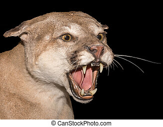 Angry Mountain Lion on a black background.