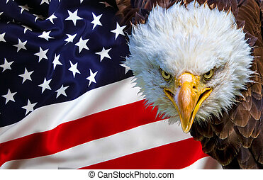 Angry north american bald eagle on american flag