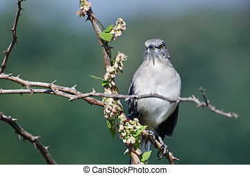 Angry Northern Mockingbird Perched in a Tree