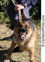 Angry police dog baring it's teeth and being restrained by a policeman