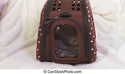 Angry Scottish fold kitten in pet travel bag