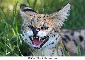 Snarling Serval wild cat with large teeth and pink tongue
