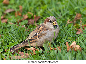 Angry sparrow