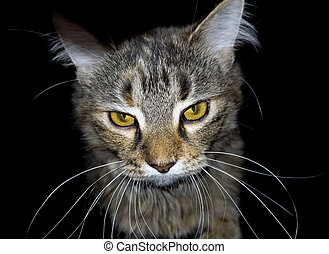 angry tabby cat on black