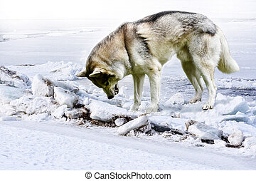 angry wolf grins displeasedly standing among the ice