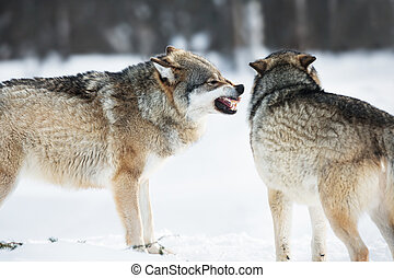 Angry wolves in winter forest - Wolf iin the cold snow.