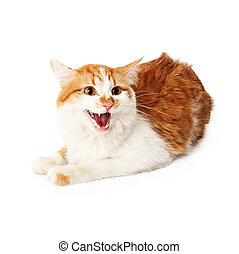 Angry yellow and white cat hissing while sitting on a white background