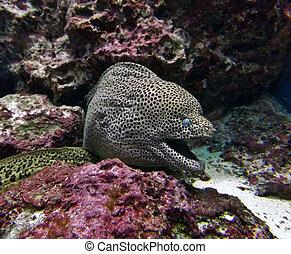 anguila de moray