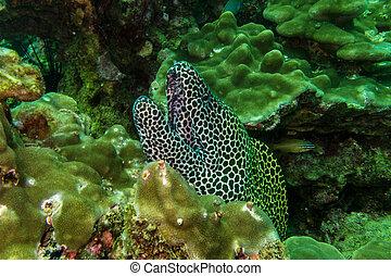 anguila de moray, omán