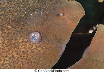 anguila, gigante, primer plano, moray