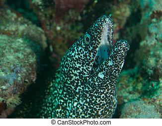 anguila, moray, agujero, reef., su, afuera, viene, manchado