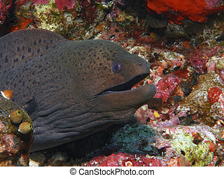 anguila, moray