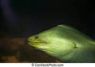 anguila, moray, verde