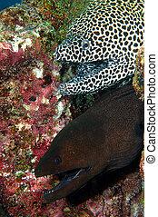 anguilas de moray, par