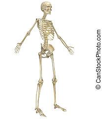 angular, esqueleto, anatomía, humano, vista delantera