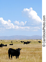 Angus Cattle - Black angus cattle grazing with blue skies...
