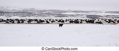 Angus Cattle Freezing Temperatures Snow Winter Range