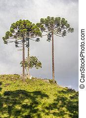 angustifolia,  araucaria, árboles