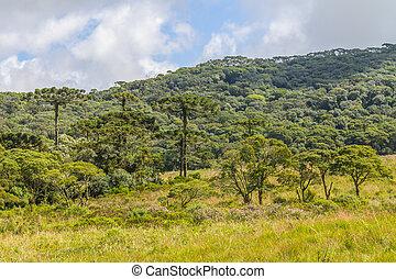 angustifolia,  araucaria, bosque