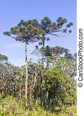 angustifolia,  araucaria