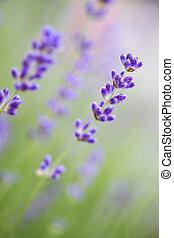 angustifolia), (lavandula, poco profondo, dof, lavanda, fiori