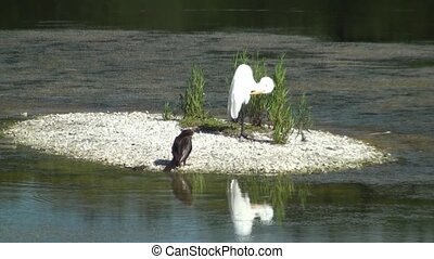 Anhinga and Egret on small island preening